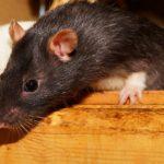 Disinfestazione da topi e insetti, perché conviene affidarsi ad un'azienda specializzata